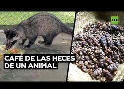 Enlace a El animal que defeca uno de los cafés más caros del mundo