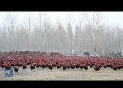 Enlace a Así es cuidar de una granja con 70.000 gallos