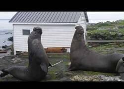 Enlace a El duelo definitivo entre dos leones marinos