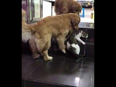 Un perros se lleva a un gato para evitar que se pelee con otro gato