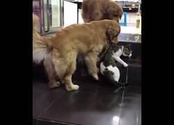 Enlace a Un perros se lleva a un gato para evitar que se pelee con otro gato