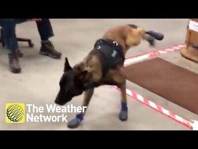 Un perro policía se adapta a sus nuevas botas de invierno