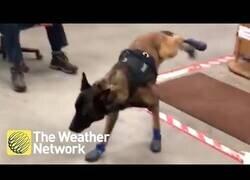 Enlace a Un perro policía se adapta a sus nuevas botas de invierno