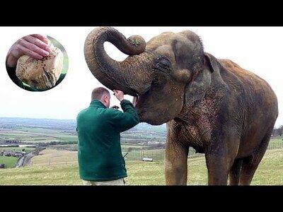 Así se extirpa un diente a un elefante