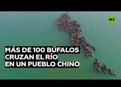 Enlace a Un centenar de bisontes cruzan un río en China