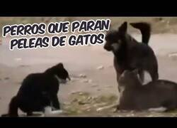 Enlace a Perros parando peleas entre gatos