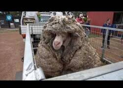 Enlace a Despojando a una oveja de 35 kilos de lana