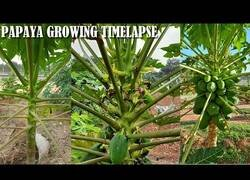 Enlace a Así es el crecimiento de una papaya