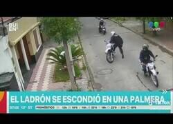Enlace a Un ladrón se esconde de la policía en una palmera
