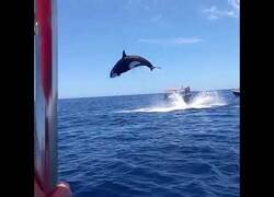 Enlace a Graban a una orca remantando en el aire a un delfín