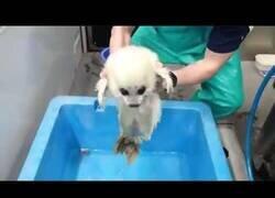 Enlace a Una foca bebé entra en contacto con el agua por primera vez