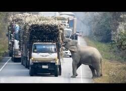 Enlace a Un elefante corta una carretera para robar cañas de azúcar de un camión