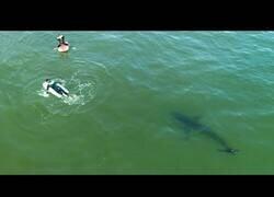 Enlace a Un dron capta como dos jóvenes nadan cerca de un tiburón blanco