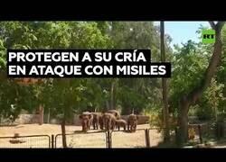 Enlace a Elefantes de un zoo de Israel protegen a su cría durante un ataque con misiles