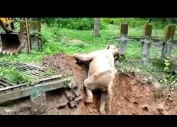 Enlace a Una excavadora ayuda a un elefante bebé a salir de una zanja de lodo