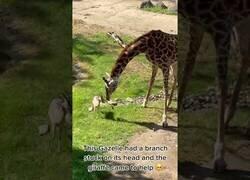 Enlace a Una jirafa ayuda a una pequeña gacela a quitarse una rama de encima