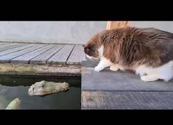 Enlace a Un gato reacciona a un cocodrilo falso