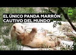 Enlace a El único oso panda marrón cautivo en el mundo