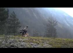 Enlace a Un águila real se lleva volando a un zorro