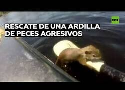 Enlace a Rescatan a una ardilla que estaba siendo atacada por peces en un lago