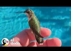 Enlace a Así es tener un colibrí como mascota