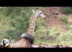 Enlace a Ayudan a una jirafa a quitarse un neumático del cuello
