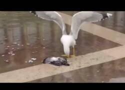 Enlace a Una gaviota se ríe de forma malvada tras matar a una paloma
