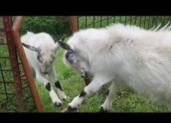 Enlace a Cabras se sienten atacadas por su propio reflejo en un espejo
