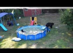 Enlace a Una familia de osos disfruta de una piscina de jardín