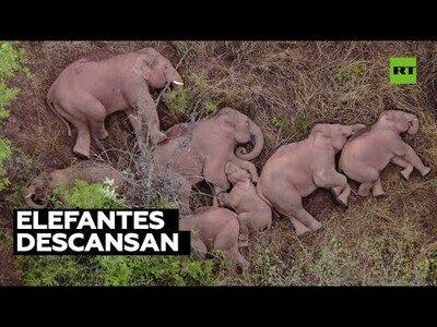 Una manada de elefantes descanasa tras recorres 500 kilómetros