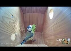 Enlace a Así prepara un pájaro su caseta para incubar un huevo