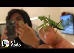 Enlace a Así es tener a una mantis religiosa como mascota