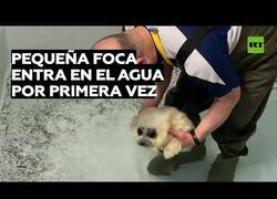 Enlace a Una cría de foca nada en el agua por primera vez
