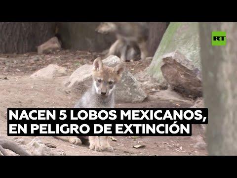 Nacen lobos de una especie en extinción en un zoo de México