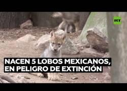 Enlace a Nacen lobos de una especie en extinción en un zoo de México
