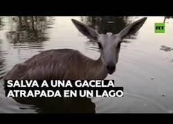 Enlace a Un hombre rescata a una gacela atrapada en un lago