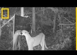 Enlace a Así reaccionan los animales del Amazones al toparse con su reflejo