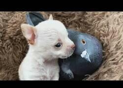 Enlace a Una paloma que perdió la capacidad de volar ahora es un perro más de la familia