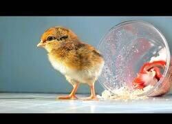 Enlace a El pollito que nació en un vaso en lugar de un huevo