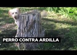 Enlace a Un perro intenta atrapar a una ardilla sin éxito
