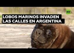 Enlace a Una ciudad argentina es invadida por lobos marinos