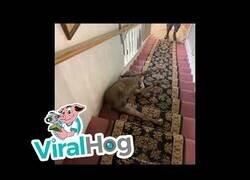 Enlace a Un pitbull encuentra la manera más cómoda de bajar las escaleras de su casa