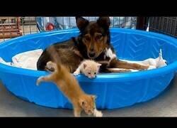 Enlace a La perrita que adoptó crías de gato