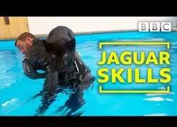 Enlace a Un jaguar entra en contacto con el agua por primera vez
