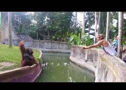 Enlace a Orangután inteligente intenta comerciar justamente con un humano