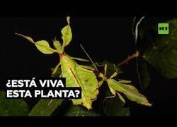 Enlace a Insectos que parecen plantas