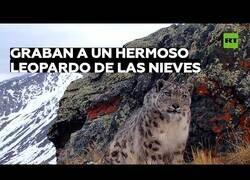 Enlace a Cámara oculta capta a un leopardo de las nieves