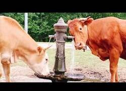 Enlace a Vacas aprenden a activar una fuente para poder beber