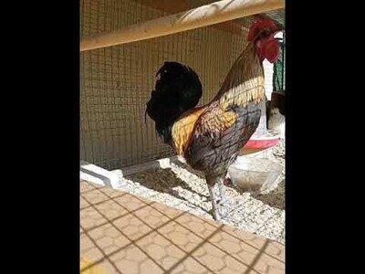 A una gallina le da algo al no dejar de cacarear sin respirar