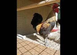 Enlace a A una gallina le da algo al no dejar de cacarear sin respirar